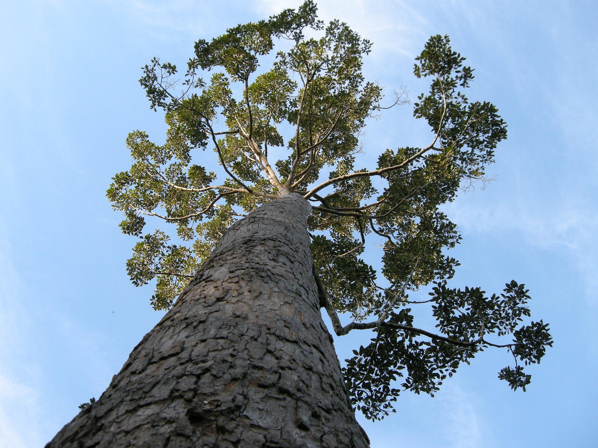 Keruing Dipterocarpus sustainable wood timber Blue Roots